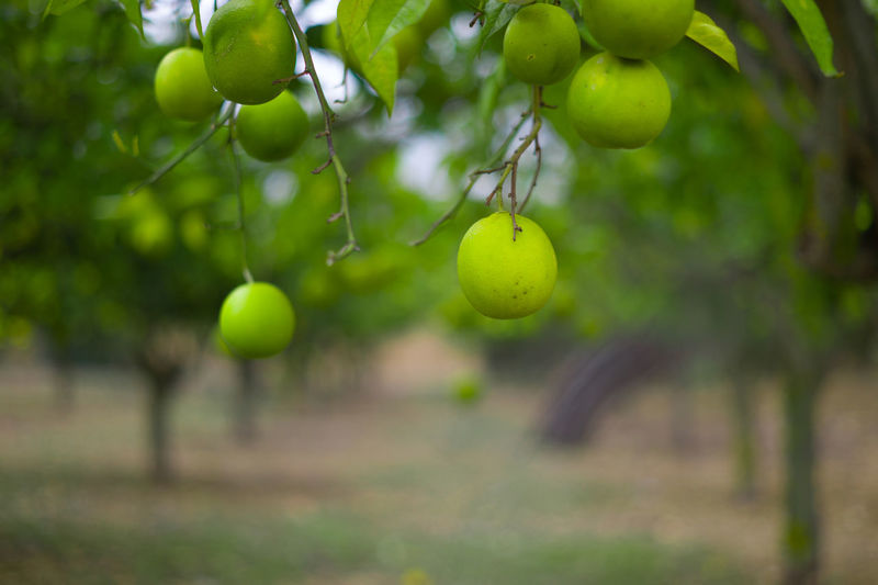 Beauty In Nature Branch Close-up Day Focus On Foreground Freshness Fruit Green Color Growth Italy Lemon Lime Nature No People Outdoors Sicily Travel Tree
