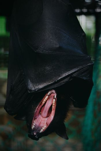 Close-up of bat yawning