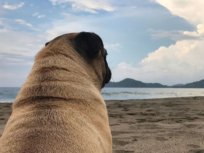 EyeEm Selects One Animal Sand Beach Sea Sky Animal Themes Nature Mammal Pets Domestic Animals Outdoors No People Day Water Dog Beauty In Nature Close-up EyeEm Gallery Furbaby Pugsnotdrugs  Pugs Pug Eye4photography  Costa Rica Been There.