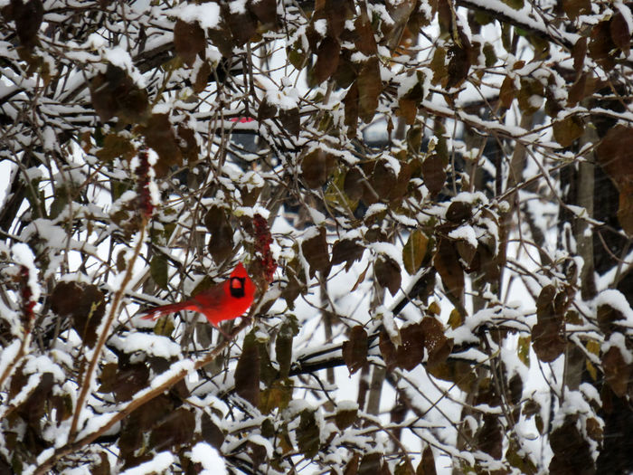 red cardinal perched on a branch covered of snow in winter Snow Tree Cold Temperature Winter Animal Themes Branch Bird Animals In The Wild Animal Animal Wildlife Plant One Animal Day Vertebrate Perching Beauty In Nature Nature No People White Color Outdoors Bird Photography Cardinal - Bird