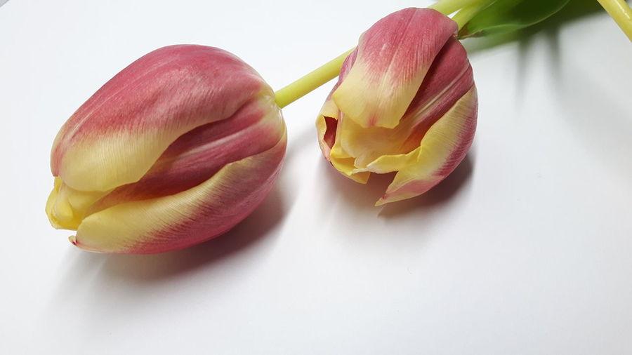 *6 Two Tulip