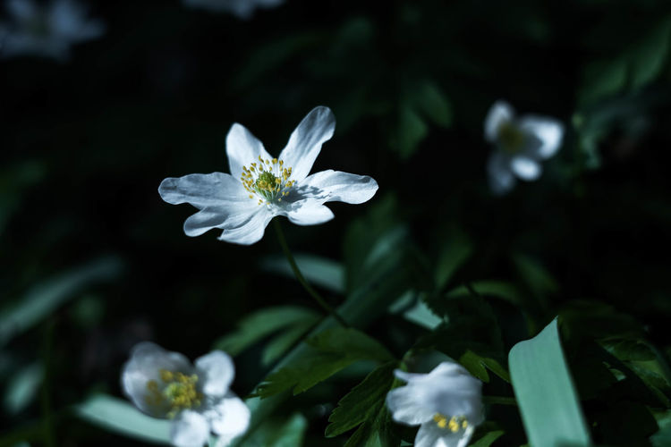 Flower Head Flower Botanical Garden Petal White Color Close-up Plant Flowering Plant In Bloom Blooming Plant Life Blossom Botany