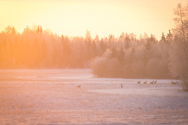 goats on the sunshine Field Goat Animal Beauty In Nature Cold Cold Temperature Fog Forest Land Landscape Nature Outdoors Sky Snow Snowing Sunrise Sunset Tree Widelife Winter WoodLand