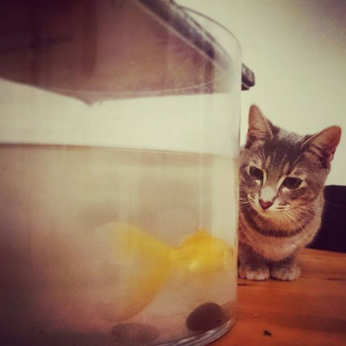 C'est l'heure de manger! Catoftheday Catlovers Fish Aquarium Cute Pets Catisplaying Hungry Hunting