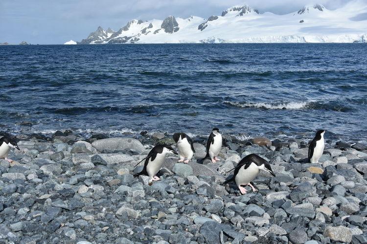 Antarctic Antarctic Peninsula Antarctica Chinstrap Penguin Frozen Ice Penguin Penguin Colony Penguins Snow Winter
