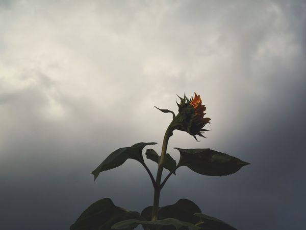 Fragility Flower Growth Nature Plant Leaf No People Beauty In Nature Day Outdoors Close-up Sky Flower Head Freshness Sunflower EyeEm Nature Lover EyeEm Gallery Garden Photography Dark Clouds Dark Sky