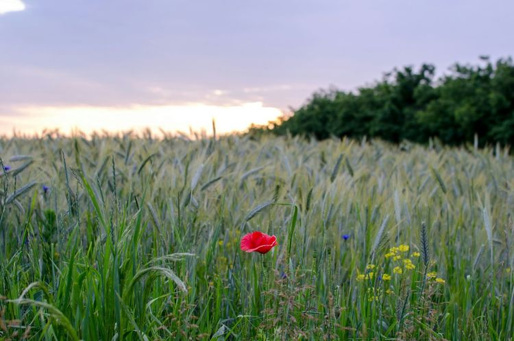 Nature Flowers, Nature And Beauty Scenic Wheat Landscape Fields Naturelovers EyeEm Gallery Red Flower Bokeh Photography