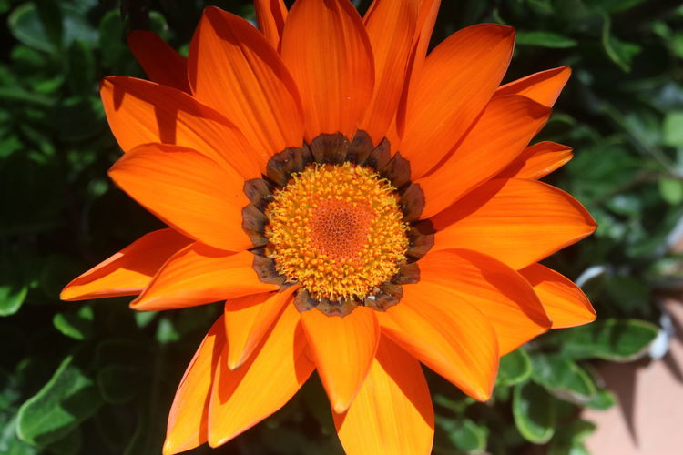 Flowering Plant Flower Flower Head Plant Petal Inflorescence Vulnerability  Fragility Beauty In Nature Growth Freshness Close-up Pollen Orange Color Focus On Foreground Nature No People Day Gazania