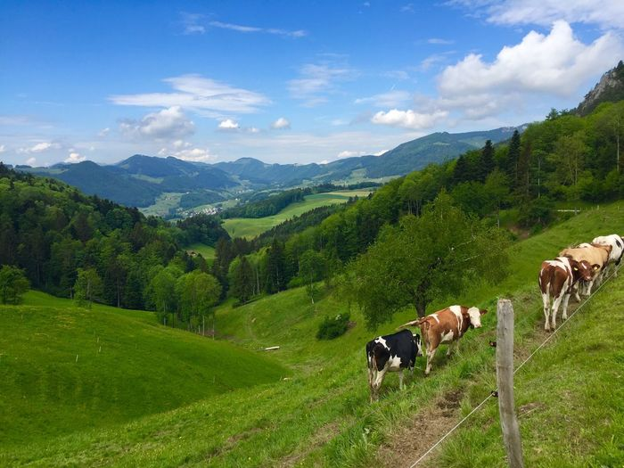 Swiss views Farm Fields Unspoilt Tourism Holiday Green Grass Scenic Scenics View Mountain Swiss Switzerland Cow Cows Domestic Landscape Beauty In Nature Domestic Animals Environment Pets Tree Field The Great Outdoors - 2018 EyeEm Awards