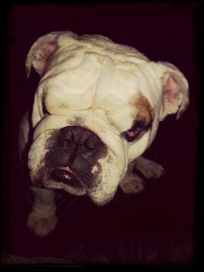My Bulldog George. isn't he cute? English Bulldog Bulldog My Dog
