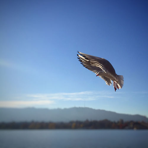Bird Flying IPhoneography Perspective Flying Seagull Lake Zürich Animals Seagull Free As A Bird Photography In Motion My Favorite Photo Focus Object waiting game