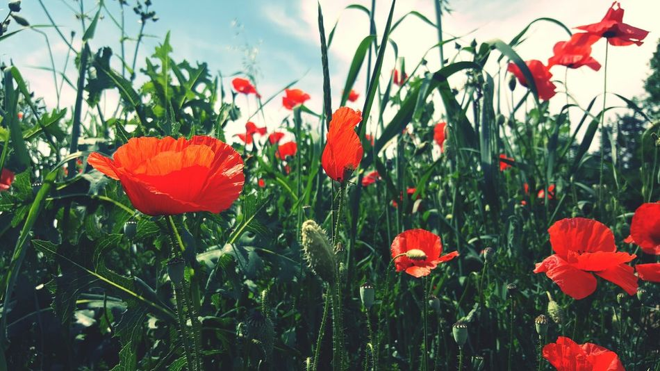 Grass Scenics Green Color While Walking Light And Shadow Nature Fragility Focus On Foreground Rural Scene Close-up Card Design Summer Things Around Me Personal Perspective Art Photgraphy Art Is Everywhere Art Photo Beauty In Nature Growth Plant Outdoors On Tour Red Color Poppy In A Field Poppy Season