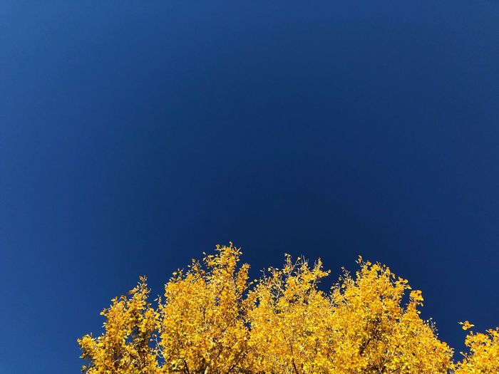 Cottonwood Trees Cottonwood Yellow Nature Tree Beauty In Nature Clear Sky Growth Blue Flower No People Outdoors Tranquility Day Sky Branch Fragility Freshness Close-up
