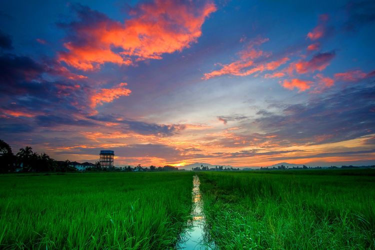sunrise scenery of paddy field at kedah,malaysia. Agriculture Beauty In Nature Cereal Plant Crop  Cultivated Land Day Farm Field Freshness Grass Green Color Growth Landscape Nature No People Outdoors Rice - Cereal Plant Rice Paddy Rural Scene Scenics Sky Sunset Tranquil Scene Tranquility