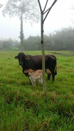 Ganado Vaca Finca Nature Animales De Granja Cows🐮