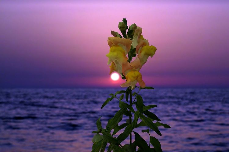 Sunset Sunset_collection Sea Water Sky Plant Nature Beauty In Nature Beach Flower Leaf Tranquility Horizon Over Water Plant Part Sun Close-up Sunlight Focus On Foreground Selective Focus Fragility Freshness Environment Outdoors Purple No People