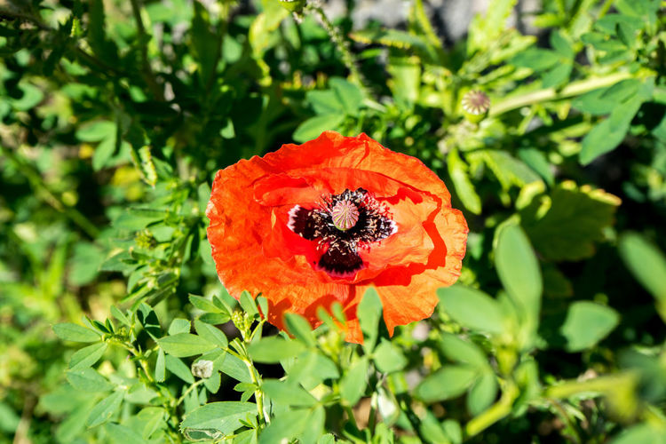 Beauty In Nature Close-up Day Flower Flower Head Flowering Plant Fragility Freshness Fruit Green Color Growth Inflorescence Nature No People Outdoors Petal Plant Plant Part Poppy Red Selective Focus Vulnerability