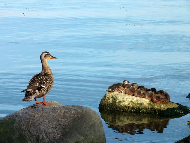Animal Themes Animal Wildlife Animals In The Wild Bird Ducks Motherhood Motherhood In Nature Motherhood Moments Rock - Object Water