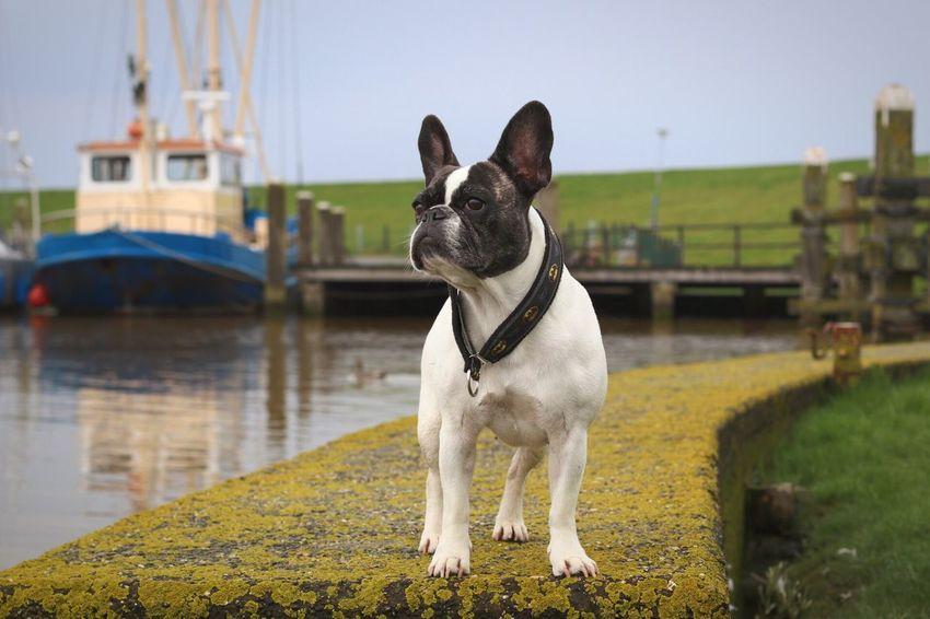 French Bulldog Französische Bulldogge  Frenchbulldog Marina Maritime Maritime Photography Marítim Dog In Haven Hund Im Hafen
