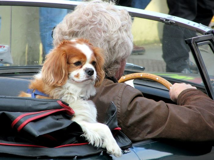 Close-Up Of Cavalier King Charles Spaniel By Woman In Car
