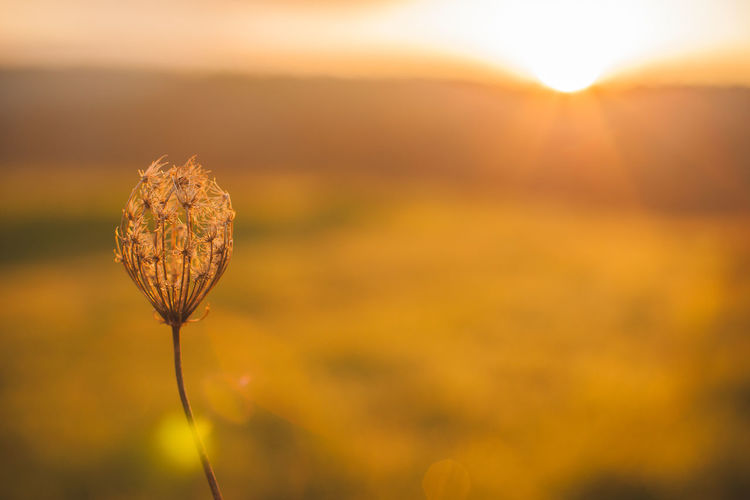 Close-Up Of Dandelion On Field During Sunrise