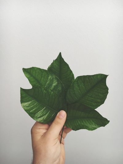 Cropped hand holding leaves by white wall