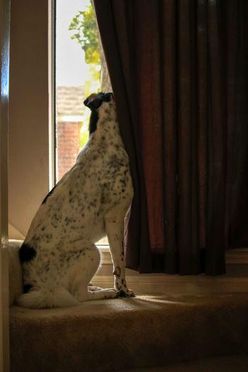 Watching for her friend Tadaa Community Malephotographerofthemonth Texas Photographer Pet Portraits Dogs Of EyeEm Dog Great Pyrenees Pet Photography  Cheetah