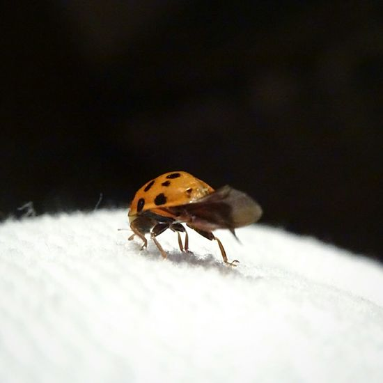 Bedroom White Spots Black Red Ladybug United Kingdom Macro Close-up Showcase March Home Beautiful Nofilter Pretty Nature First Eyeem Photo Furry Dressing Gown