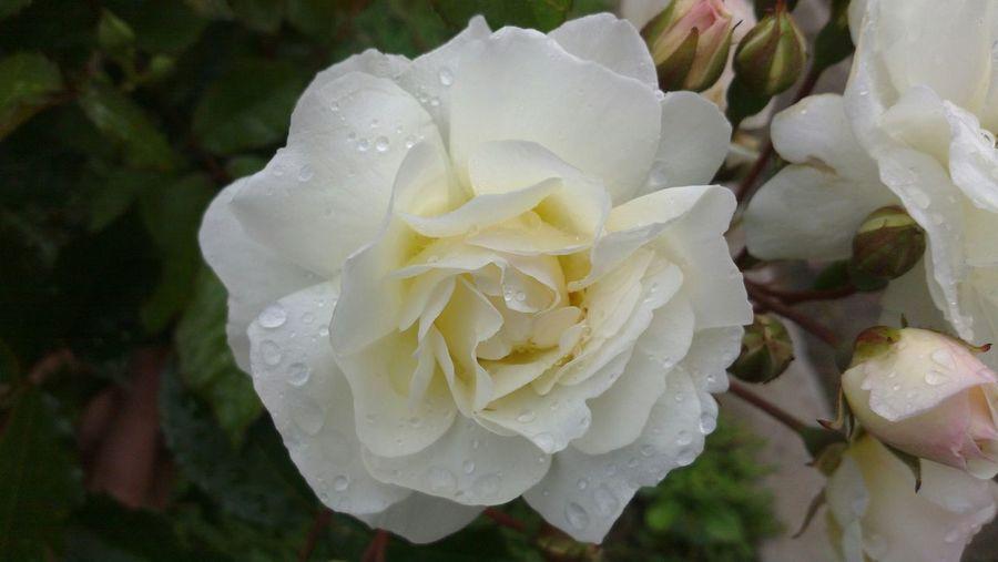 Nature Sammer 2015 Macro Beautiful Flower Rose🌹