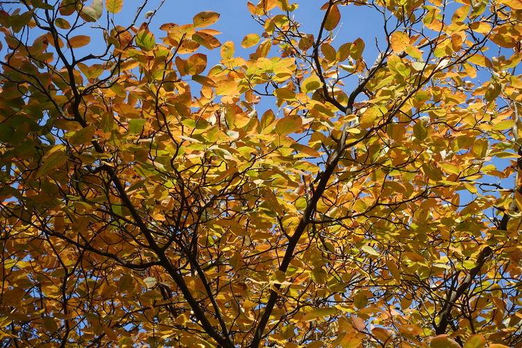 Herbstwetter Herbststimmung Autumn colors Goldener Oktober Tree Leaf Autumn Sky Treetop Leaves Fall