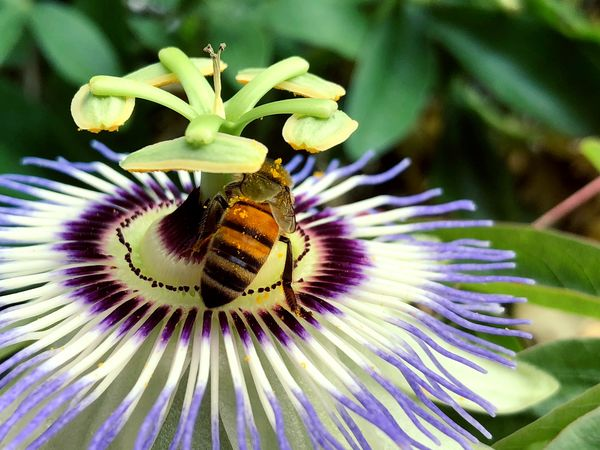 Bee on a Paradise Flower Animal Animal Themes Animal Wildlife Animals In The Wild Beauty In Nature Bee Close-up Flower Flower Head Flowering Plant Fragility Freshness Growth Inflorescence Insect Invertebrate No People One Animal Petal Plant Pollen Pollination Purple Vulnerability