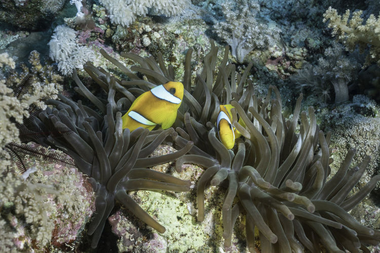 Two Clown fish in an Anemone, Red Sea, Egypt Diving Red Sea Diving Scuba Diving Anemone Anemone Flower Animal Themes Clown Fish Clownfish Coral Nature Ocean Red Sea Scubadiving Sea Life UnderSea Underwater Underwater Photography