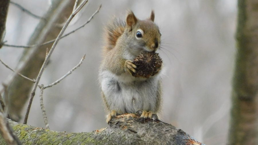 Close-up of squirrel eating food while sitting on tree