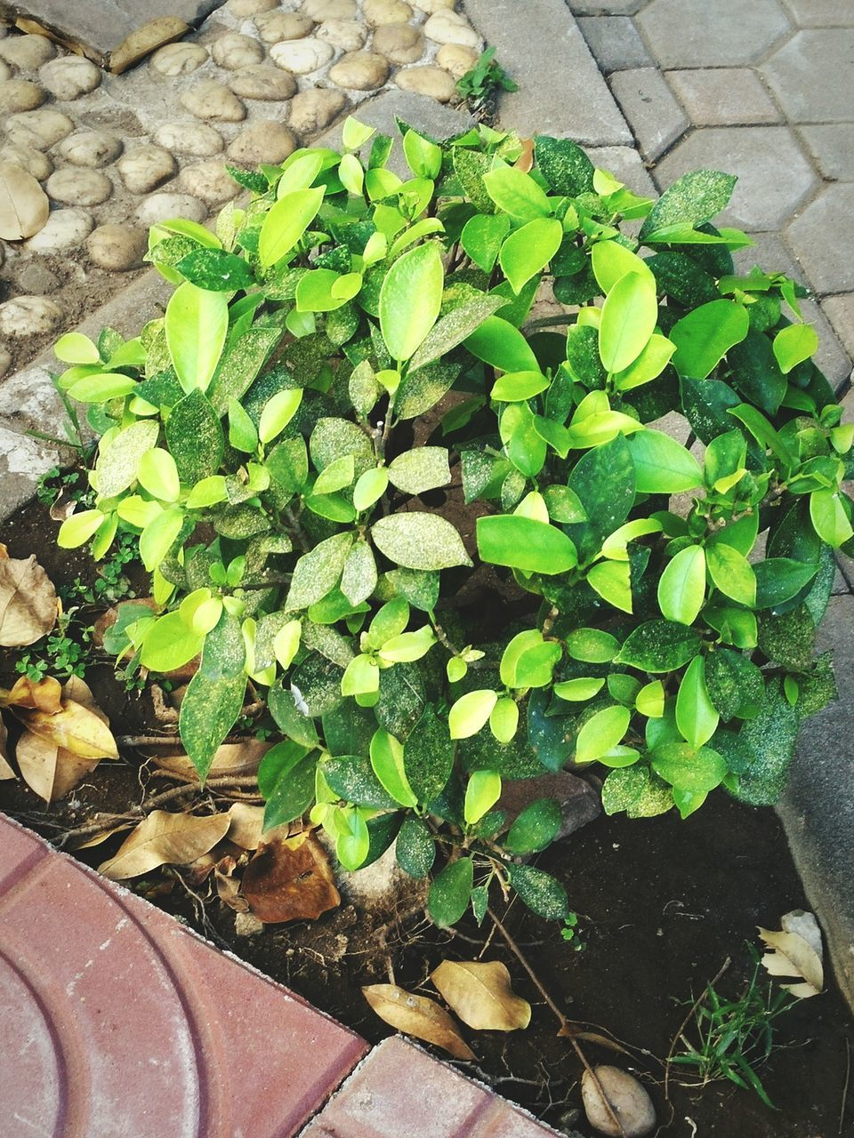 plant, leaf, growth, high angle view, green color, potted plant, nature, day, outdoors, no people, close-up, fragility, freshness
