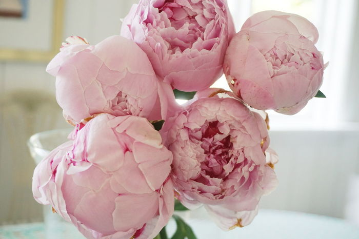 Pion Beauty In Nature Close-up Day Flower Flower Head Focus On Foreground Fragility Freshness Nature No People Outdoors Peonie Peonies Peony  Petal Pink Pink Color Pink Flowers Pion