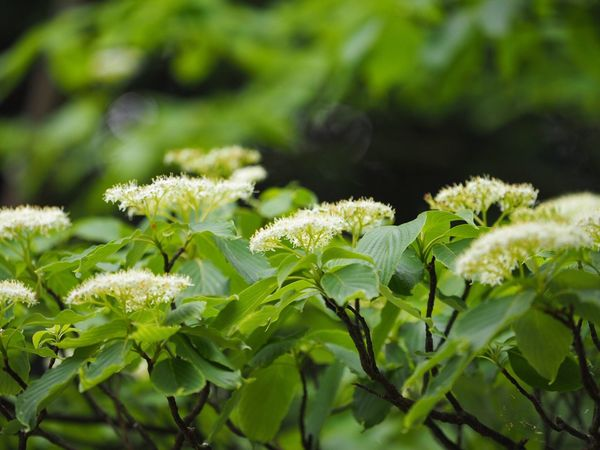 ミズキ Cornus Controversa Flower Flowers, Nature And Beauty Flowers Hugging A Tree Nature Nature_collection Nature Photography EyeEm Best Shots - Nature EyeEm Best Shots - Flowers The Purist (no Edit, No Filter) EyeEm Nature Lover Snapshot Taking Photos Walking Around お写ん歩 Light And Shadow