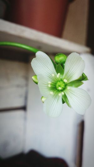 My Sweet Home Plantacarnivora A bela flor da planta carnívora!!