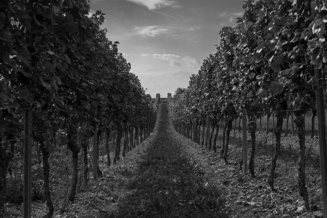 Agriculture Tree Growth In A Row Field Nature Rural Scene No People The Way Forward Winemaking Outdoors Scenics Fruit Landscape Day Beauty In Nature Sky Black & White Blackandwhite Photography Blackandwhite Vineyard Weinstraße EyeEm Selects Deutsche Weinstraße Wine
