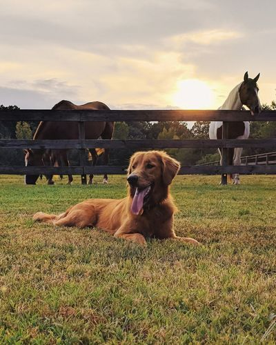 Golden Hour Golden Hour Perfect Light Warm Eyem Best Shots EyEmNewHere Springtime Horse Countryside Lifestyles Summer Spring VSCO Vscocam Protruding Pets Dog Panting Sticking Out Tongue Animal Tongue Sky Grass Retriever Purebred Dog Puppy Canine Golden Retriever EyeEmNewHere
