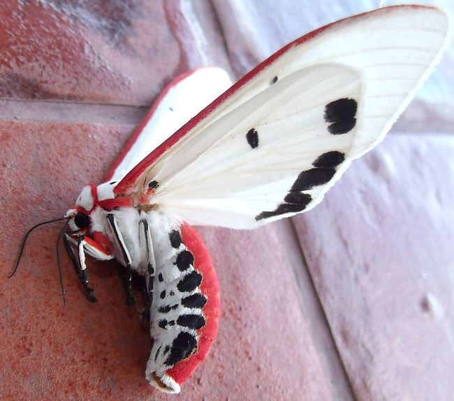 Breathing Space EyeEmNewHere Macro Photography Philippines ❤️ Red Costate Tiger Moth Tiger Moth Fallen Beauty Moth