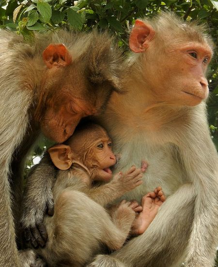 Family Baby Animal Themes Young Animal Mammal Togetherness Day The Week On Eyem Nikon AW130 Nature Bangalore Ape Monkey Family Animals Cuddle Primates Nandi Hills Cute Animals In The Wild Incredible India