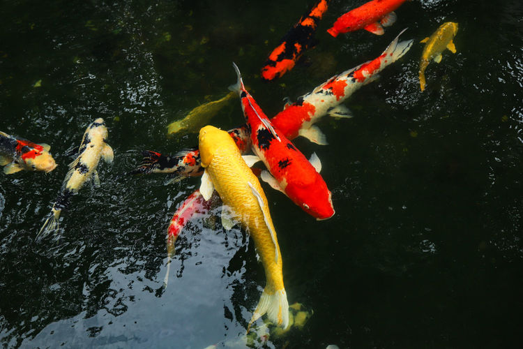 View of koi carps swimming in pond