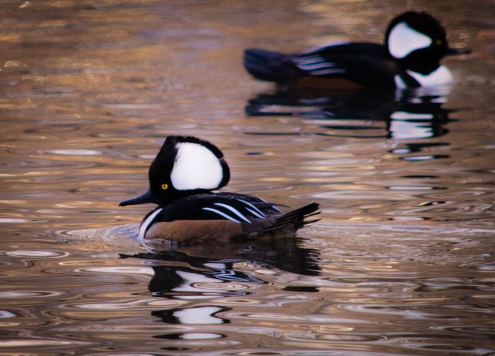 Animal Themes Animal Wildlife Beauty In Nature Bird Hooded Merganser My Point Of View My Unique Style Nature Nature Photography Riverside Riverside Photography Water Bird Wildlife & Nature Wildlife Birds Wildlife Photography