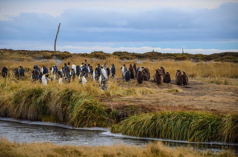 Penguins on grassy field against sky