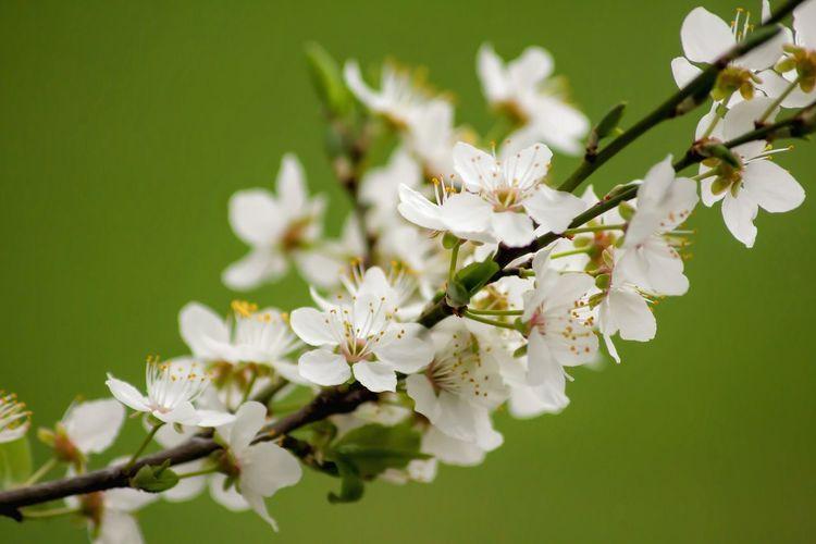 Greenery Spring Flowers Blossem Blossem Blossem.. Springtime White Flower Close-up Blossom Tree Blossoming Tree Blossoms Blooming Exeptional Photographs Good Vibes Showcase April