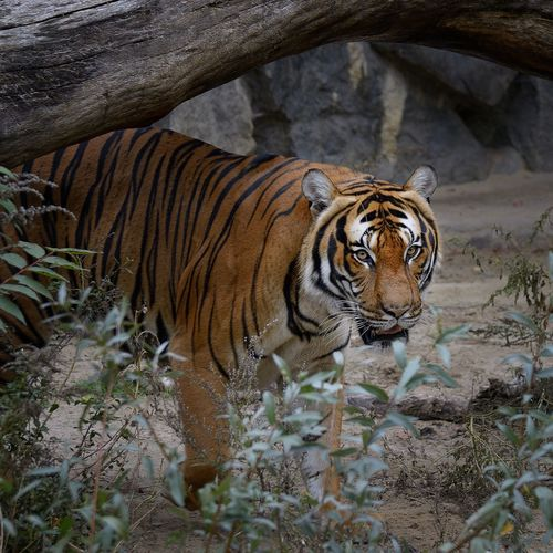 Portrait Of Tiger Standing At Zoo