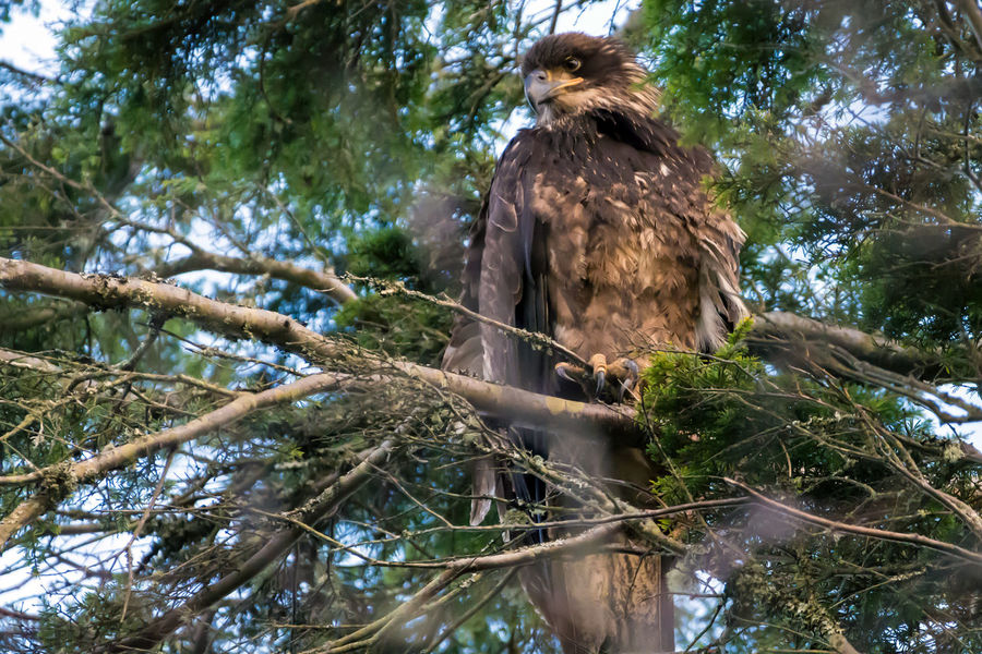 Is this a Golden Eagle or a Juvenile Bald eagle? Bald Eagle Bird Photography Birds Of EyeEm  Birds Of Prey Birdwatching Juvenile Bald Eagle Patterns In Nature Animal Themes Animal Wildlife Animals In The Wild Bird Bird Of Prey Bird Watching Birds_collection Branch Day Eagle - Bird Eagles Golden Eagle Majestic Nature No People Outdoors Perching Tree