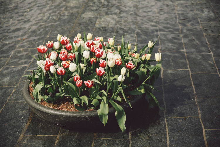 2016 April Blooming Blossom Botany Bunch Of Flowers Day Flower Freshness Growing Growth In Bloom Nature No People Outdoors Petal Plant Plein Potted Plant Rijksmuseum Spring Tulips Water Your Amsterdam