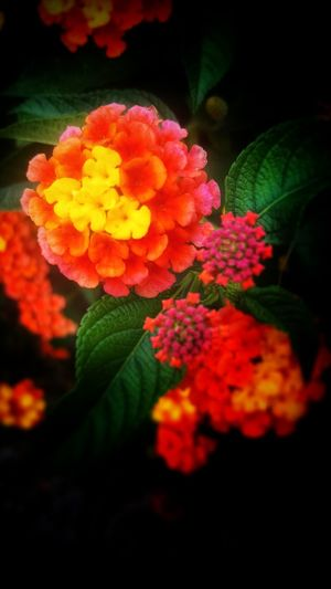 Colours of nature Flower Freshness Beauty In Nature Fragility Leaf Growth Nature Petal Plant Flower Head No People Outdoors Pink Color Day Close-up Lantana Camara