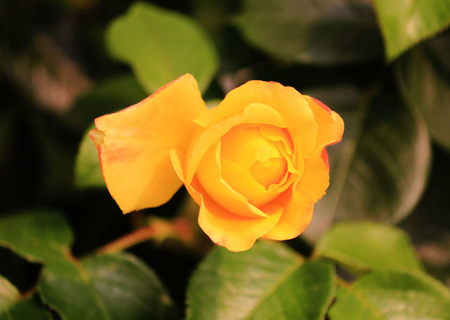 A Single Beautiful Yellow Rose Beauty In Nature Blooming Close-up Day Flower Flower Head Fragility Freshness Growth Leaf Nature No People Outdoors Petal Plant Single Rose Yellow Yellow Rose